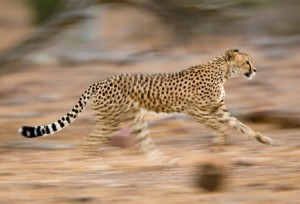 Cheetah-24470924